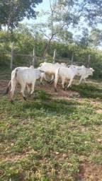 11 Vacas