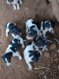 Vendo filhotes de cachorro americano