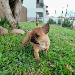 Disponível lindo filhote de Bulldog francês