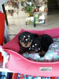 Rottweiler com pedigree gold dog kennel femea