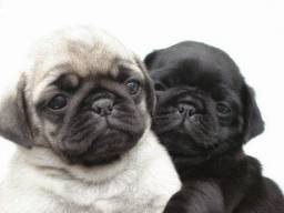 Pet Shop Da Madre filhotes de Pug machos-fêmeas