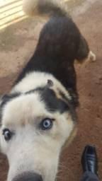 Procuro cadela Husk Siberiano para cruzar macho de 4 anos