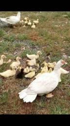 Patos e Patinhos.