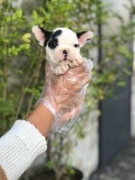 Bulldog Francês todas as cores, garantia total de saúde em contrato