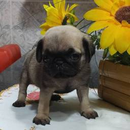 Machinho Pug
