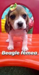 Linda fêmea Beagle