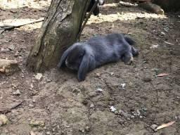 Mini lop filhotes