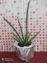 Mudas de Babosa (Aloe Vera)