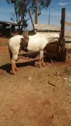 Equa pent horse