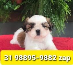 Canil Lindos Filhotes Cães BH Shihtzu Poodle Maltês Basset Yorkshire Beagle
