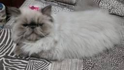 Gata procura gato persa macho pra namorar
