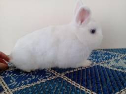 Título do anúncio: Mini coelhos Netherland Dwarf a venda