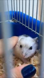 Filhotes de hamster linhagem importada