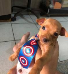 Título do anúncio: Cachorro pinscher