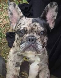 Bulldog Francês Macho Merle exótico para cruza