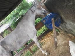 Égua campolina