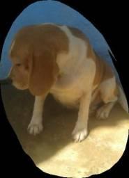 Vendo raça beagle
