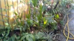 Coco anao