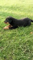 Vende-se ultimo filhote de rottweiler