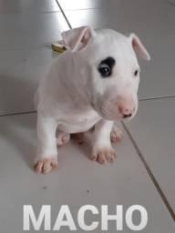 Bull Terrier filhotes legítimos
