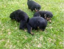 Vendo Filhote de Rottweiler