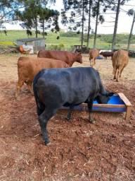 Gado, vacas