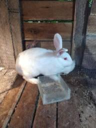 Coelhos,coelhas
