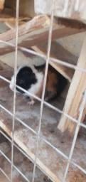 Porquinho da Índia reprodutor