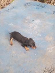 Salsichinha ( dachshund ) macho R$ 650