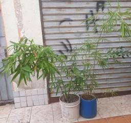 Bambu Bambuí