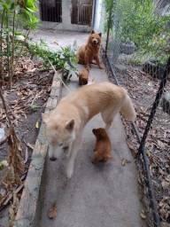 Cachorros husk com Chow chow