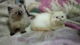 Lindos filhotes de gato persa!!!