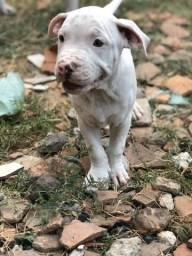 Vendo feminha de pitbull