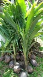 Mudas de coqueiro anão