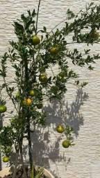 Vendas de mudas frutíferas e ornamentais