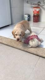 Filhote de Labrador menos de 3 meses