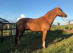 Cavalo capado pra vender barato
