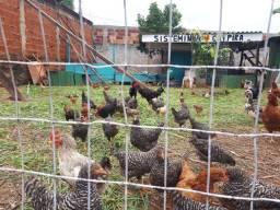 frangos caipira