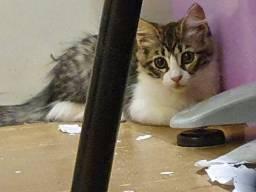 Doação filhote gata peludinha
