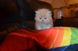 Gato Persa macho 1700 reales