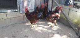 GALLO RODHIA island red