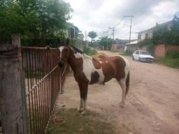 Cavalo mangalarga top