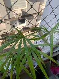 Palmeira de açaí Jussara