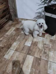 Poodle toy Procuro namorada