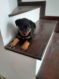 Rottweiler cabeça de Touro
