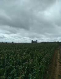 Palha de milho para Silagem