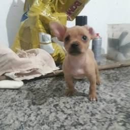 Cachorro. pinscher. 1 Macho