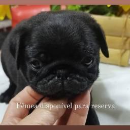 Fêmea Pug