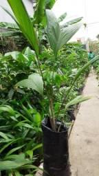 Plantas de pumpunha