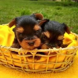 Yorkshire Terrier macho e Fêmea na promoção ja vacinados e microchipados